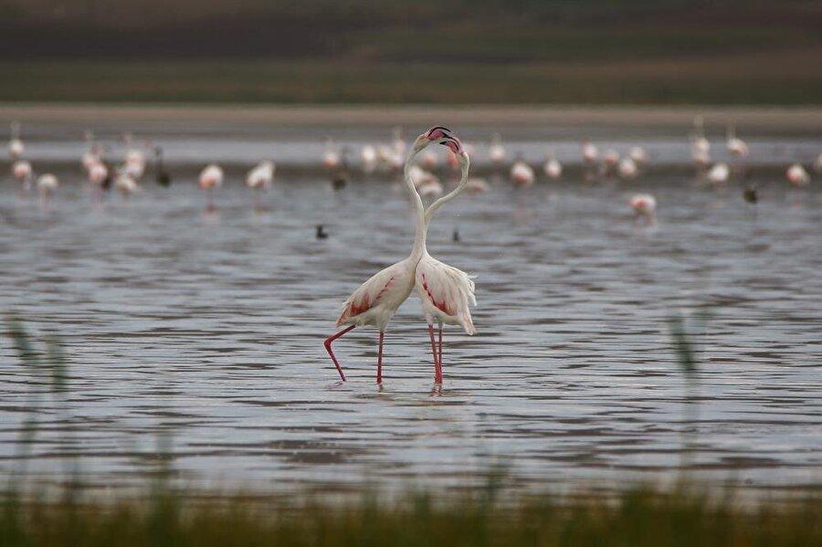 Havaların soğumasıyla Kuzey Afrika'ya gidecekler Buradan üreme ve beslenme için İran'daki Urmiye Gölü ve Hazar Gölü kıyılarına gidecek olan kuşlar, kasımdan sonra havaların soğumasıyla yeniden Kuzey Afrika'ya göç edecek.
