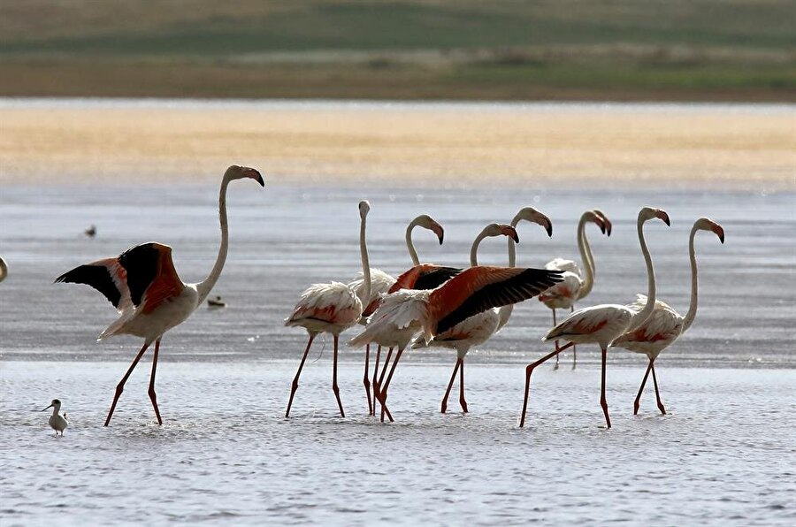 """Van Gölü mola noktası olarak kullanılıyor Azizoğlu: """"Van Gölü Havzası'nda uygun üreme alanı bulunmadığı için burayı mola noktası olarak kullanıyorlar. Su kuşlarının en uğrak yerlerinden biri de Akgöl'dür. Akgöl belirli dönemlerde kuruyabiliyor. Ancak bu yıl yağışların da bol olmasından kaynaklı su seviyesi gayet iyi durumda. Şu an çevresinde 5 bine yakın flamingo ve 45'e yakın su kuşu türü bulunmaktadır. Akgöl'de dinlenen kuşlar yeniden Van Gölü ve Erçek Gölü'ne devam ediyorlar. Kasım'a kadar Van Gölü Havzası'nda kalan flamingolar, havaların soğumasıyla yeniden Kuzey Afrika Bölgesi'ne doğru göç ediyorlar."""" İfadelerini kullandı."""