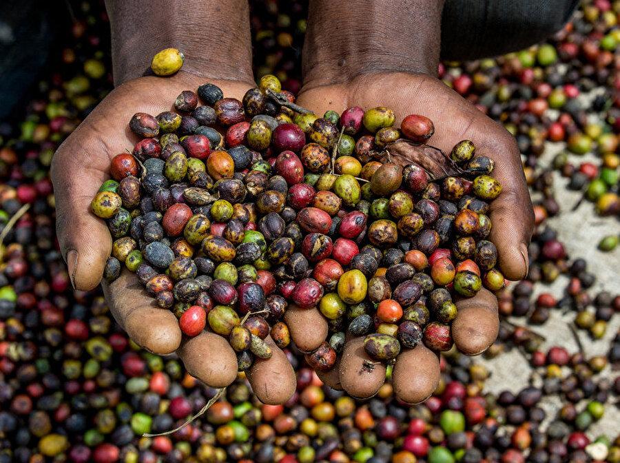 Afrika'da kahve, şeker ile eş değer                                                                                                                                                                                          Amerika'da kahve kültürü zamanla hayatın içerisine yerleşmiş durumda ancak Afrika'da bu durum biraz farklı. Afrika ülkeleri, kahveyi bir içecek olarak değil şeker olarak tüketiyorlar. Bunu da; çiğ kahve çekirdeklerini, su ve baharatla ıslatarak başarıyorlar.