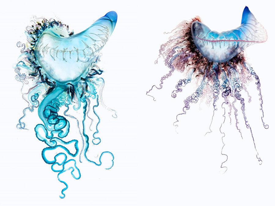 """Enseden sokmadıysa tehlike yok                                      Fizalyanın sokması, dokunaçları arasında yaşayıp beslenen denizanası balığı dışında tüm küçük deniz hayvanları için öldürücü nitelikte. İnsanlar içinse durum değişken. Honolulu'daki Hawaii Üniversitesi'nde sifonoforların yer aldığı grubun zehir yapısını inceleyen Angel Yanagihara, fizalya zehrinin insanlarda yarattığı tehlikenin, kurbanın yaşına ve nereden sokulduğuna bağlı olarak değiştiğini söylüyor. Deri kalınlığı bedenin farklı yerlerinde değişik oluyor. """"Kadınların ve çocukların derisi daha incedir"""" diyor. """"Eğer bir çocuk, ensesi civarından sokulursa öldürücü olabilir çünkü zehrin büyük kısmı kan dolaşımına girebilir."""" Buna karşılık yetişkin bir erkeğin sırtından sokulmasının ancak kıymık batması gibi bir rahatsızlık vereceğini söylüyor."""