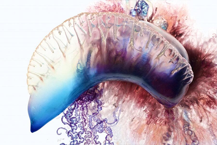Organları meydana getiren özel dokuları yok                                       Fizalyalar, sifonoforlar olarak bilinen denizanalarıyla akraba bir gruba dahil. Bu gruptaki hayvanların özelliği, tek bir organizma gibi durmalarına rağmen aslında bir koloni olmaları. Sifonoforların, başka hayvanlarda olduğu gibi organları meydana getiren özel dokuları yok. Onun yerine, farklı görevlerde uzmanlaşmış genetik olarak özdeş bireylerden oluşuyorlar. Bireylerin bazıları dokunaçları meydana getirirken, bazıları da beslenme birimlerini, yüzerlik ya da üremeyle ilgili yapıları oluşturuyor.