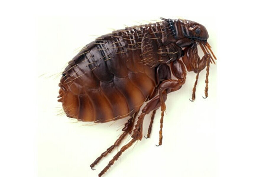 Pireler, kan emen böcek türüdür.