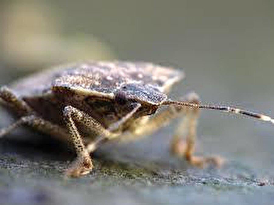 Tekerlek Böceği, dünyanın en büyük böceklerindendir.