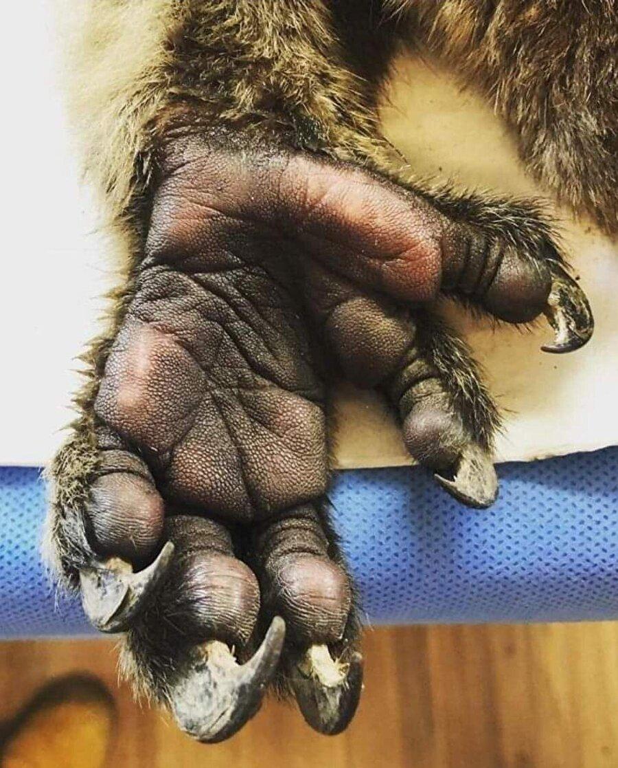 Koalanın el falına bakacak kimse var mı?