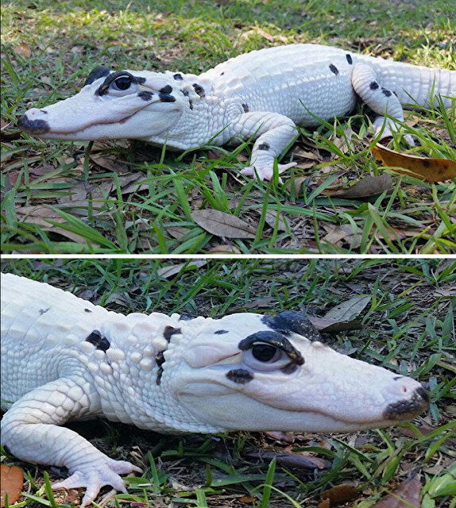 Beyaz timsah