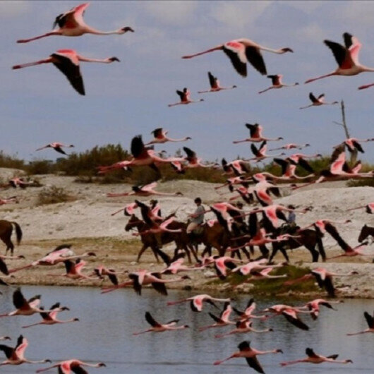 Climate change threatens Tanzania's pink flamingos