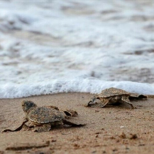 Caretta caretta, green turtle hatchlings reach sea in Northern Cyprus