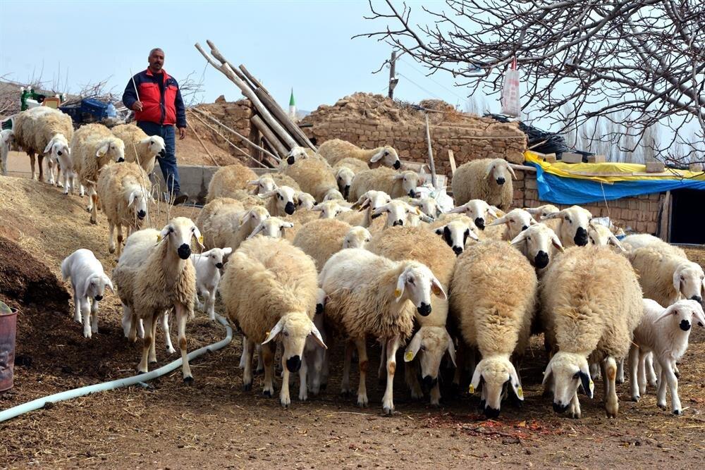 'Köyüne dönene 300 koyun' projesinde detaylar belli oldu ve başvurular başladı.