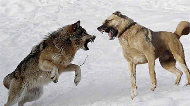 Sahibinin gurur kaynağı: Kangal köpekleri