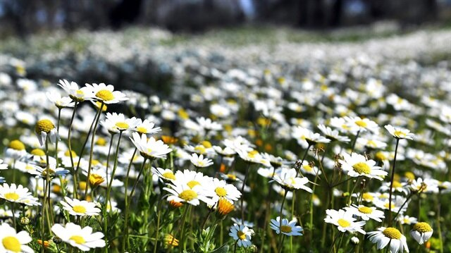 Papatya yerine başka çiçekleri almayın