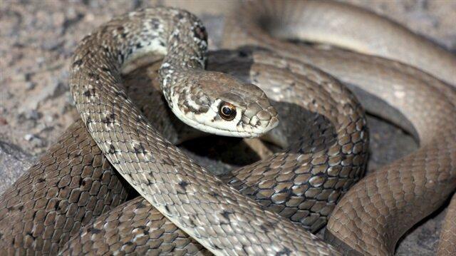 Bayburt'ta ok yılanı görüntülendi