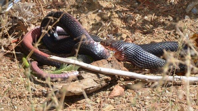 Kara yılan avını yerken saniye saniye görüntülendi