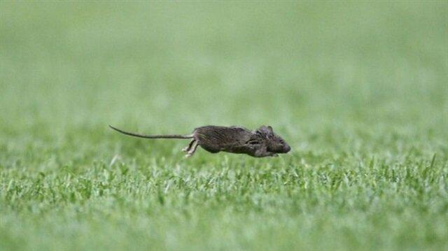 Dünya devinin stadını fareler bastı