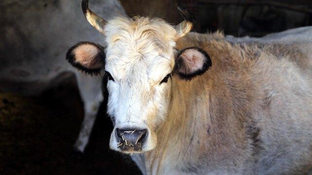 Klonlanmış sığırların torunları dünyaya geldi!