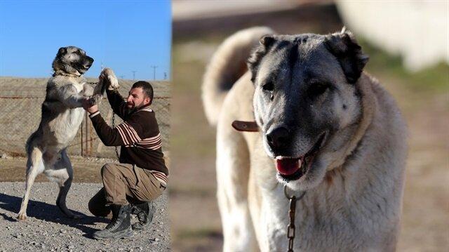 """Kangal köpeğinin sırrını açıkladı: """"Kangal köpeği ısırmaz, teslim alır"""""""