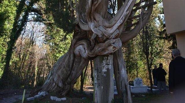 117 yıllık ağaç hayrete düşürüyor