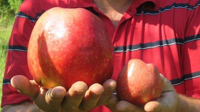 Türkiye'nin en büyük organik elmasını yetiştirdi