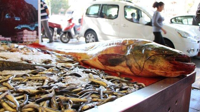 Yeşilırmak'ta 40 kilogram ağırlığında ve 2 metre uzunluğunda yayın balığı yakalandı.