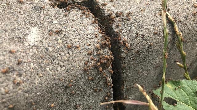İstilacı böceklerin cinsi belli oldu