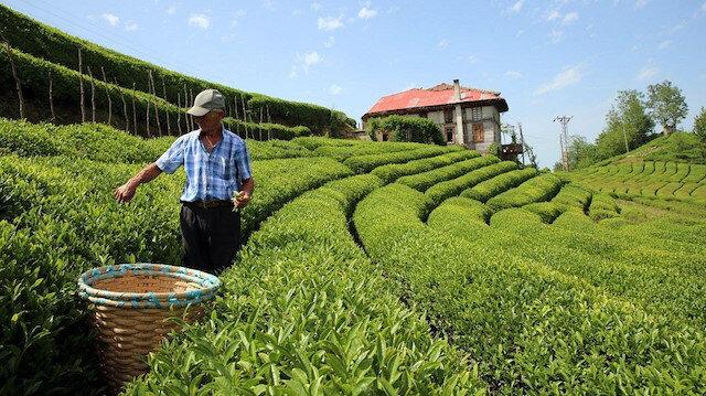 75 bin çay üreticisine bugün ödeme yapılacak
