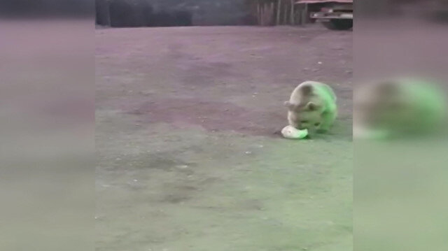 Ayı ile top oynamaya çalışan bekçi izleyenleri güldürdü