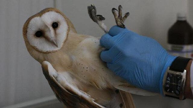 Avcıların vurduğu yaralı peçeli baykuşa tedavi