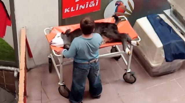 Küçük çocuk buzağının acısını okşayarak hafifletmeye çalıştı