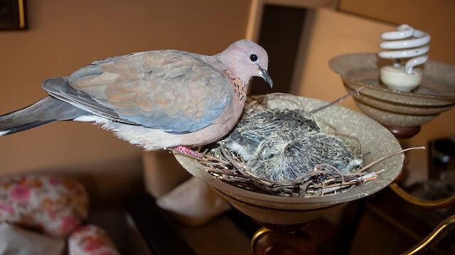 Kuşlar oturma odasının avizesine yuva yaptı