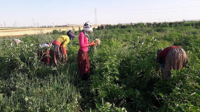 Çiftçiyi isyan ettiren fark: Tarlada 5, halde 100 lira
