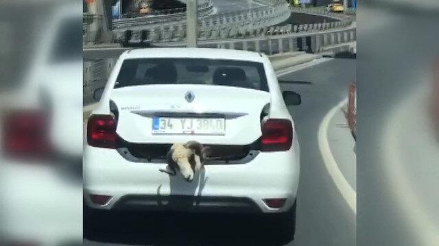 Kurbanlık koçu otomobilin bagajında taşıdı