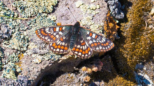 '12 bin yaşındaki' kelebek, Ağrı Dağı'nda yeniden görüntülendi