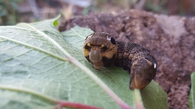 Türkiye'de nadir görülen fil şahin güvesi larvası Bilecik'te görüntülendi