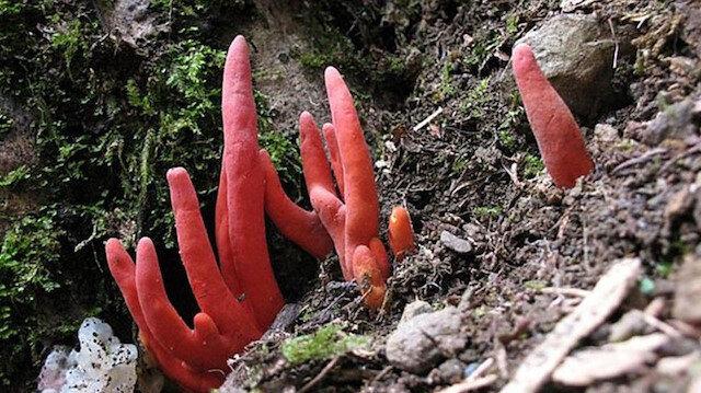 Beyin yiyen zehirli mantar: Zehirli ateş mercanı bulundu
