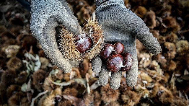 Bursa kestanesinde erken hasat başladı: Kestanenin kilogram fiyatı 10-15 lira arasında değişiyor