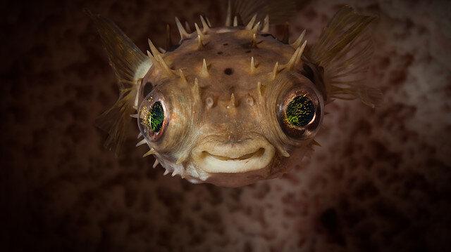 Denizde büyüyen tehlike: Zehirli balıklar Marmara ve Karadeniz'de de görüldü, önlem alınmalı