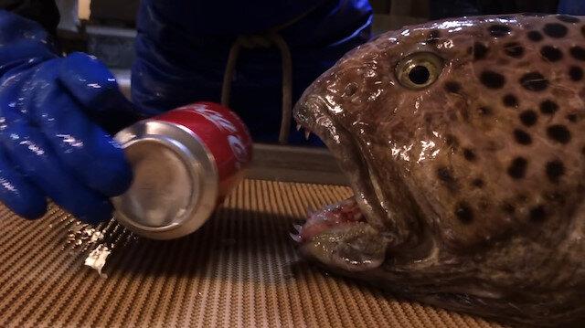 Balon balığı kola kutusunu tek hamlede parçaladı