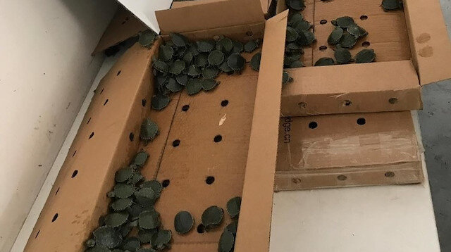 Artvin'de ekipleri şoke eden olay: 3 bin 400 tanesi pizza kutusundan çıktı