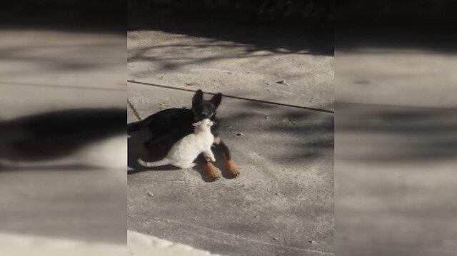 Kedi ve köpeğin dostluğu görenleri hayran bırakıyor