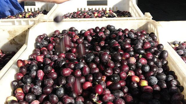 Hileli gıdalar zincirine zeytin de eklendi: Paslı demirle renk veriyorlar