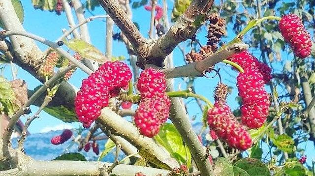 Meyveler yalancı bahara aldandı: Kış mevsiminde hasat verdi