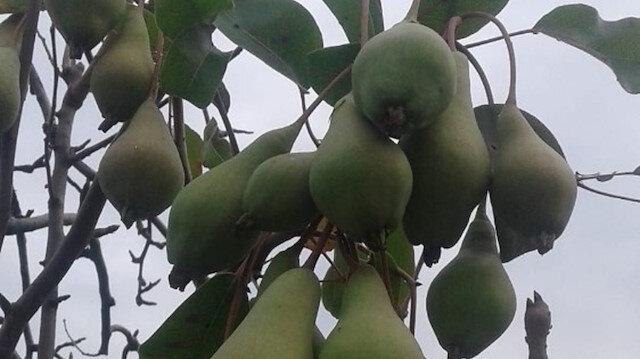 Armut ağacı mevsimi şaşırdı: Önce çiçek açtı sonra meyve verdi