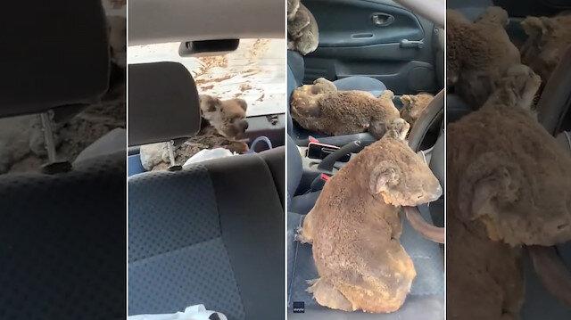Bölge bölge gezip yangın bölgesindeki koalaları kurtarıyor