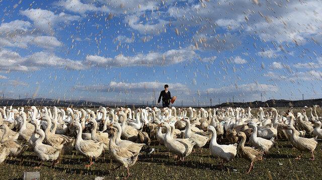 30 büyükbaş hayvanını sattı 3 bin mast cinsi kaz yavrusu alarak çiftlik kurdu: Taleplere yetişemiyor