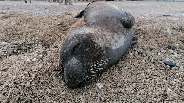 Nesli tükenmekte olan Akdeniz foku ölüsü kıyıya vurdu