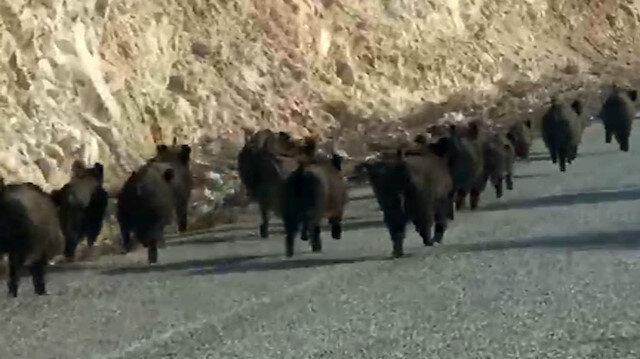 Kara yoluna çıkan domuz sürüsünün şaşırtıcı görüntüsü: Vatandaşlar korku dolu bakışlarla izledi