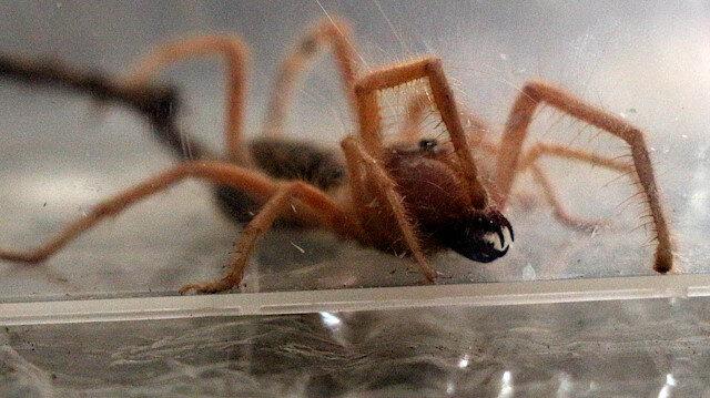 Yangın, toz fırtınası, dolu, selin vurduğu Avustralya'da 'zehirli örümcek' uyarısı: 10 dakika içinde öldürüyor