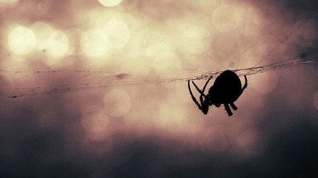 5 bin deveyi öldüren Avustralya'da 'zehirli örümcek' uyarısı