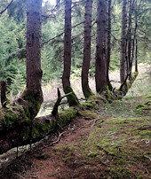 Ağacın gövdesinden 17 ağaç çıktı