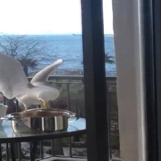 Martının tencere kapağını açarak kapuskayı yemesi kamerada