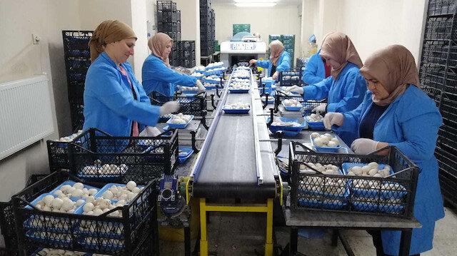 Ayda 100 ton mantar üretiyorlar: Her geçen gün üretim kapasitemizi arttırarak devam ediyoruz